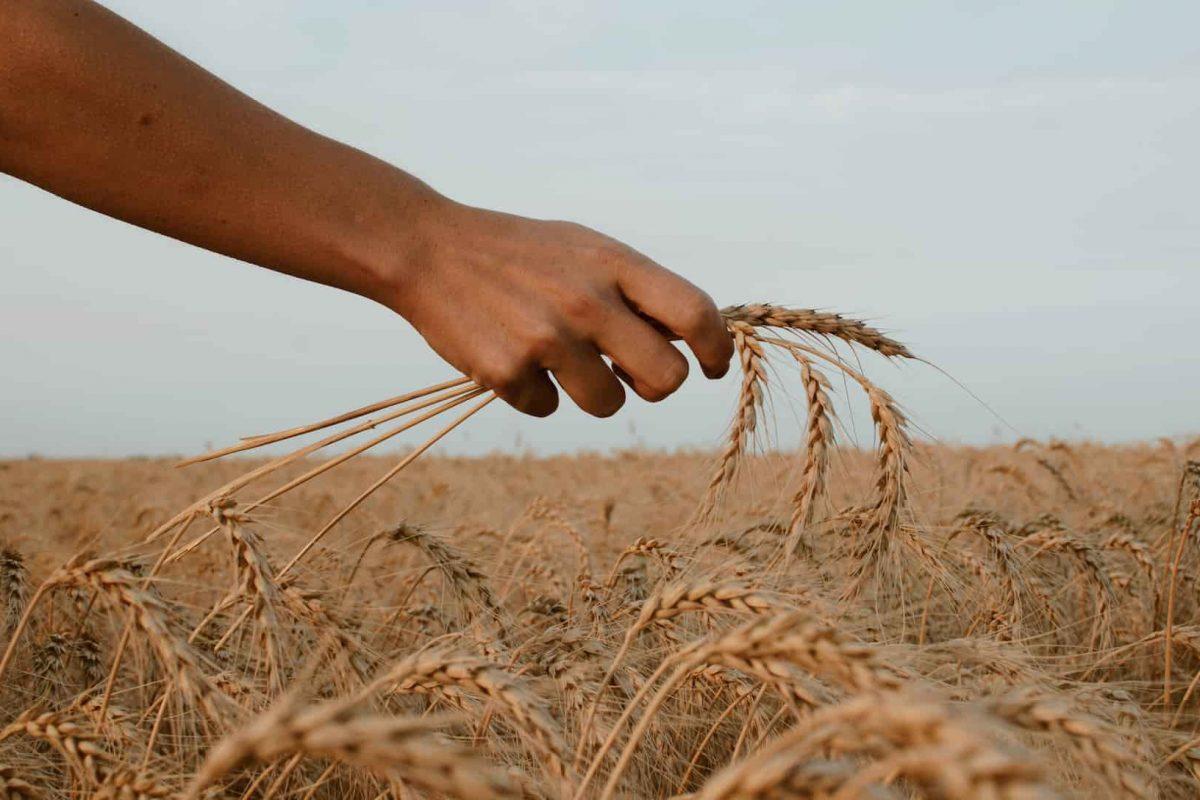 Comment cultiver du blé?